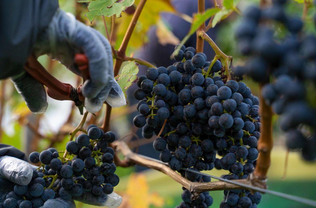 Die Winzer am Wirtemberg stecken mittendrin in der Arbeit. Von Hand werden die guten und die schlechten Trauben verlesen. Foto: Lichtgut/Julia Schramm