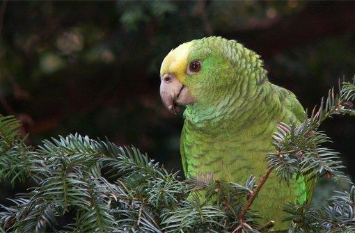 Die wilden Papageien von Cannstatt