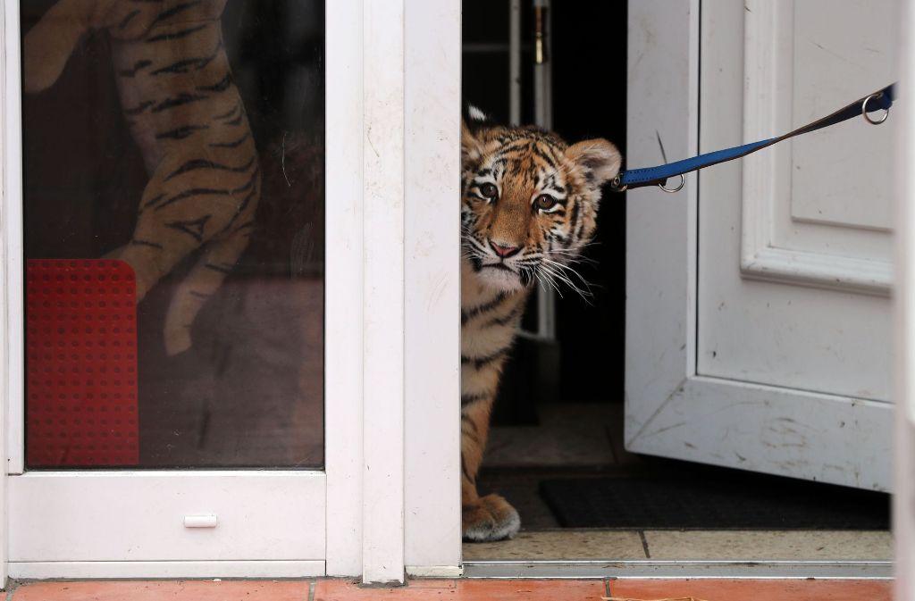 Tigermädchen Elsa wird von Hand aufgezogen. Foto: dpa-Zentralbild
