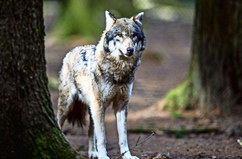 Ein Wolf in einem Wildpark Foto: dpa