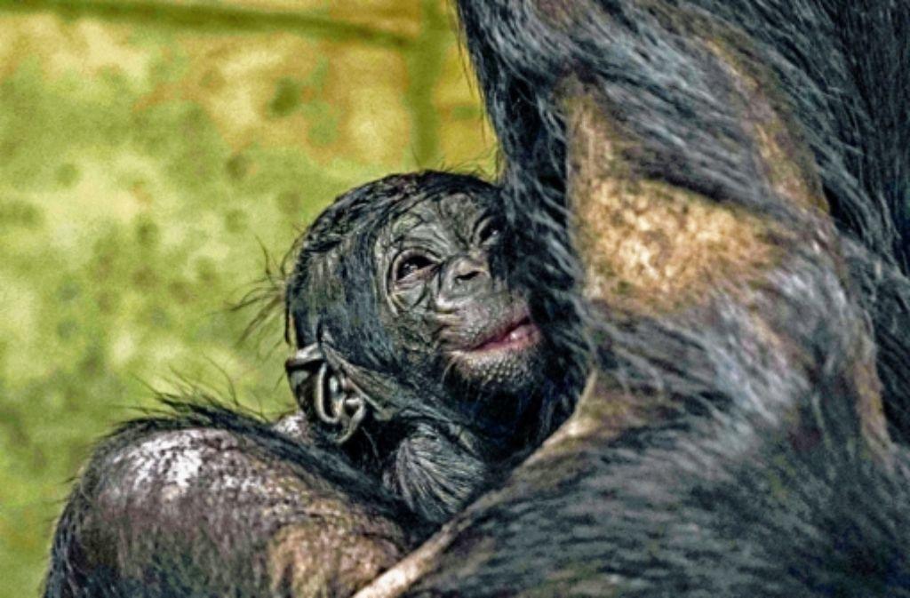 Der jüngste Nachwuchs bei den Bonobos hat noch keinen Namen. Foto: Katharina Schäfler
