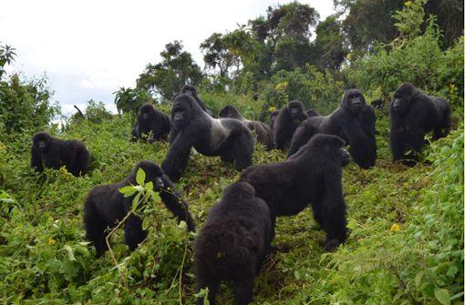 Mangel an Lebensraum bremst Wachstum des Berggorilla-Bestands