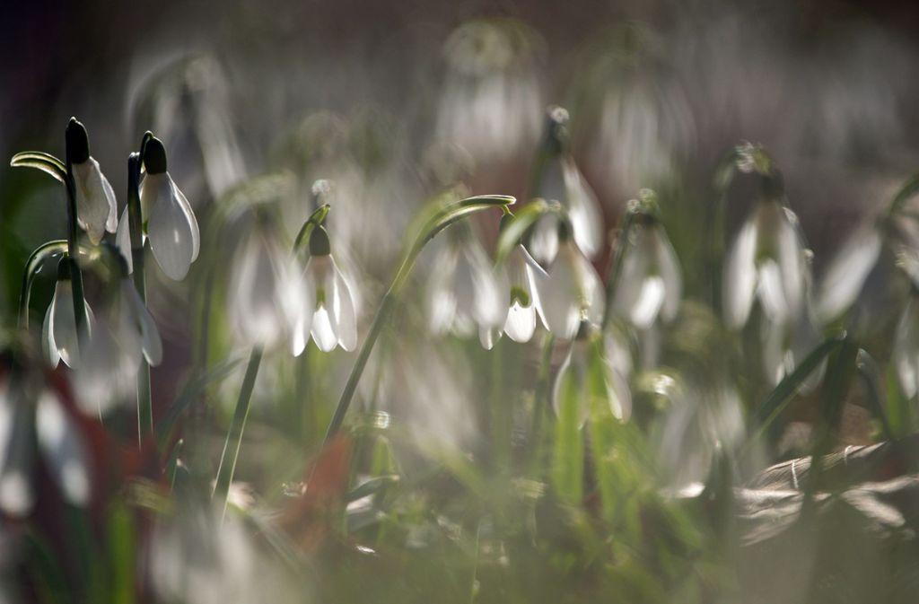 Schneeglöckchen kündigen den Frühling an Foto: dpa/Sebastian Gollnow