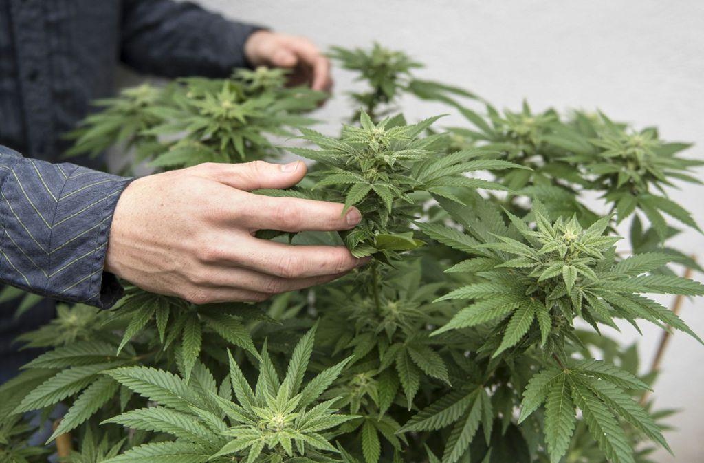 Legales Marihuana boomt und hat sich in Nordamerika längst zum Milliardenmarkt entwickelt. Nun will auch die Getränkeindustrie mitmischen - große Bier- und Spirituosenhersteller steigen vor der Legalisierung des Mega-Marktes Kanada in das lukrative Geschäft ein. Foto: Orange County Register via ZUMA