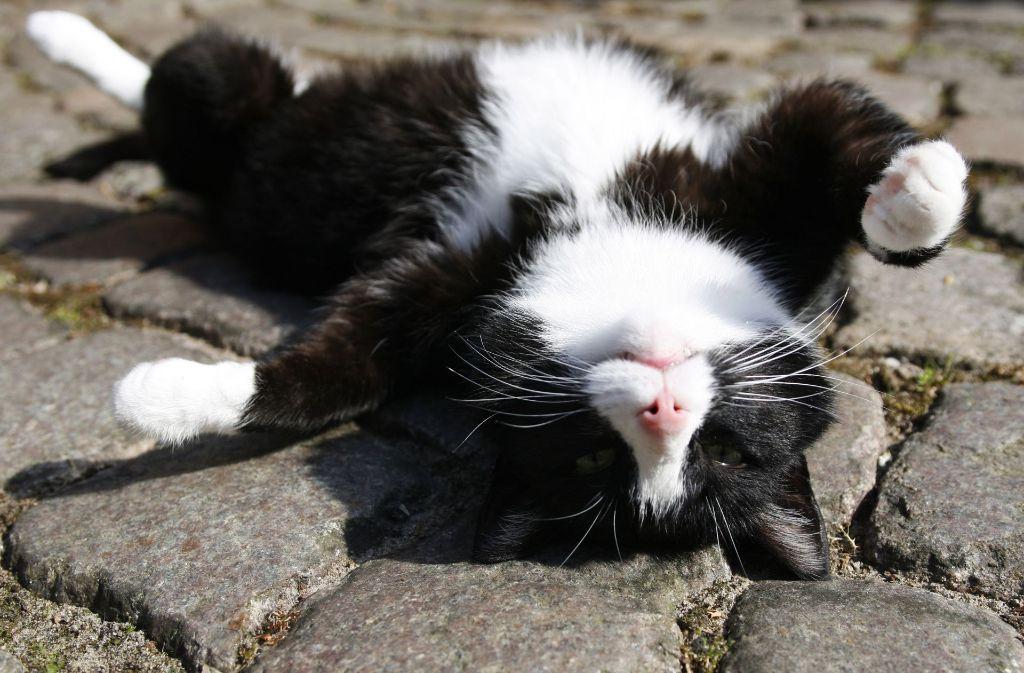 Katzen sorgen immer wieder für Lacher, vor allem auf YouTube. Foto: AP