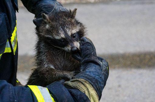 Feuerwehr rettet Waschbär