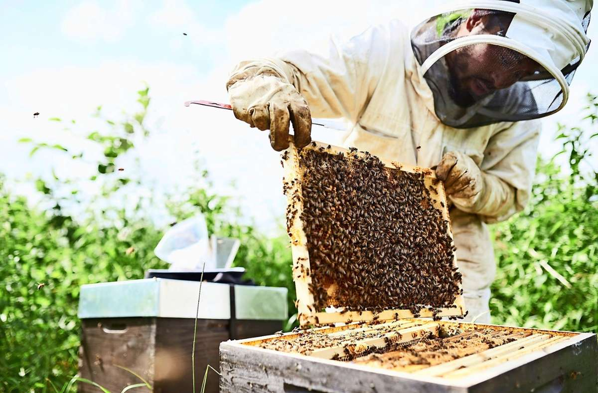 Rund 20 Kilogramm Honig haben die Bienen bei Drees und Sommer produziert, ein  willkommener  Nebeneffekt des Projektes. Foto: Drees & Sommer/BeeOdiversity (z)