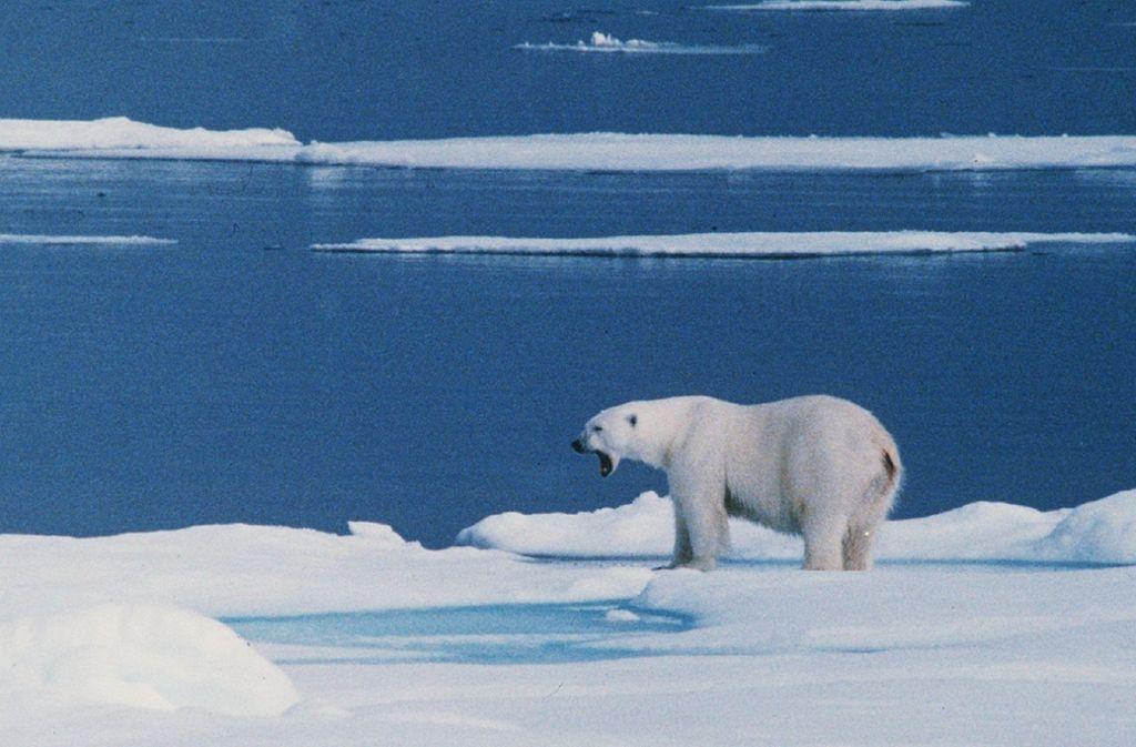 Ein Eisbär hat auf Spitzbergen einen Mann schwer am Kopf verletzt (Symbolbild). Foto: PRESSENS BILD