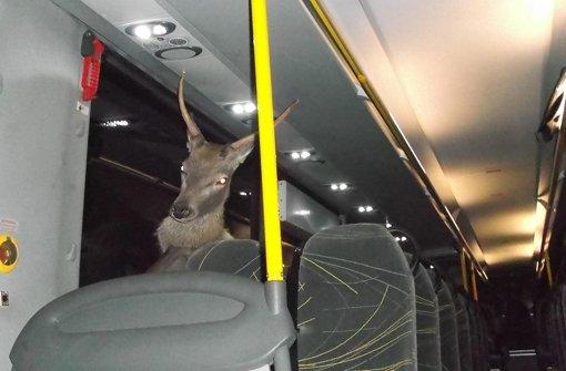 Hirsch durchbricht Busscheibe und setzt sich hin
