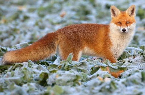 22.11: Tierquäler fängt Fuchs in Drahtschlinge