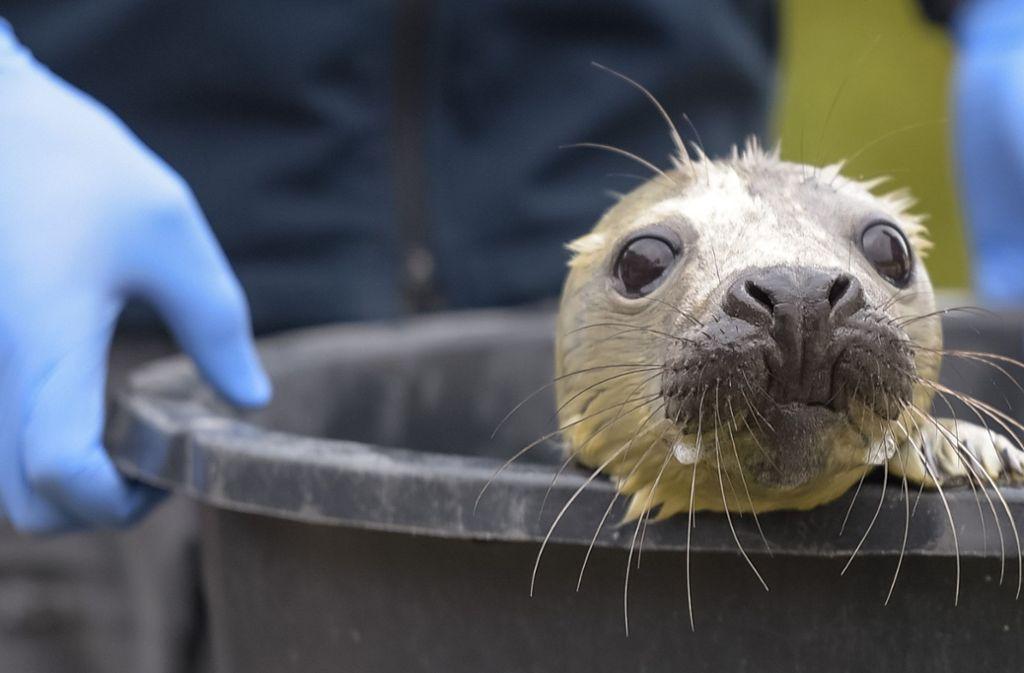 Der kleine Heuler wurde in die Seehundstation gebracht, wo man ihm den Namen Elvis gab. Foto: dpa