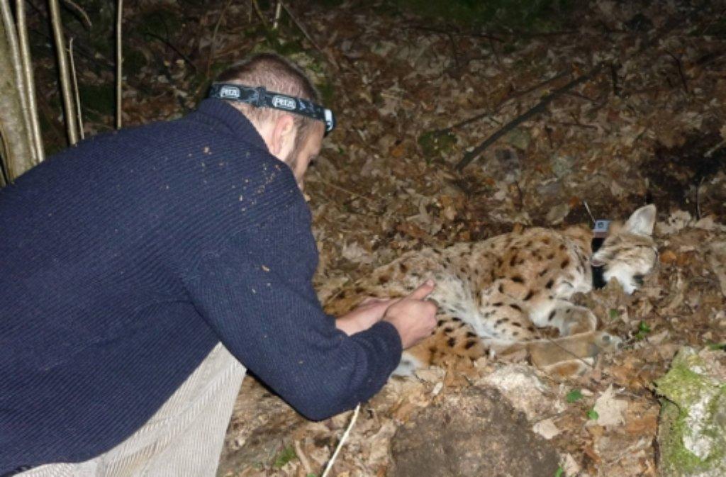Luchs Friedl wird von Mitarbeitern der Forstlichen Versuchs- und Forschungsanstalt (FVA)  mit einem Peilsender versehen. Foto: FVA Baden-Württemberg