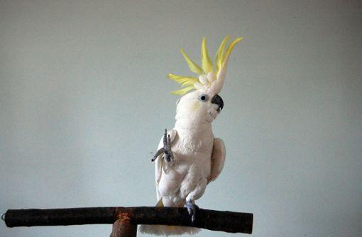 Tanzender Kakadu verhält sich ähnlich wie Menschen