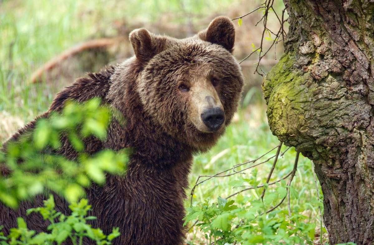 In vielen Regionen sind die Braunbären aufgrund von Jagd und Zerstörung ihres Lebensraumes ausgestorben. (Symbolbild) Foto: dpa/Patrick Pleul