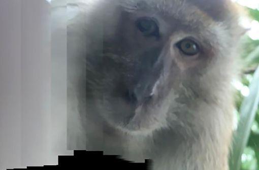 Affe klaut Handy von einem Studenten und macht Selfies
