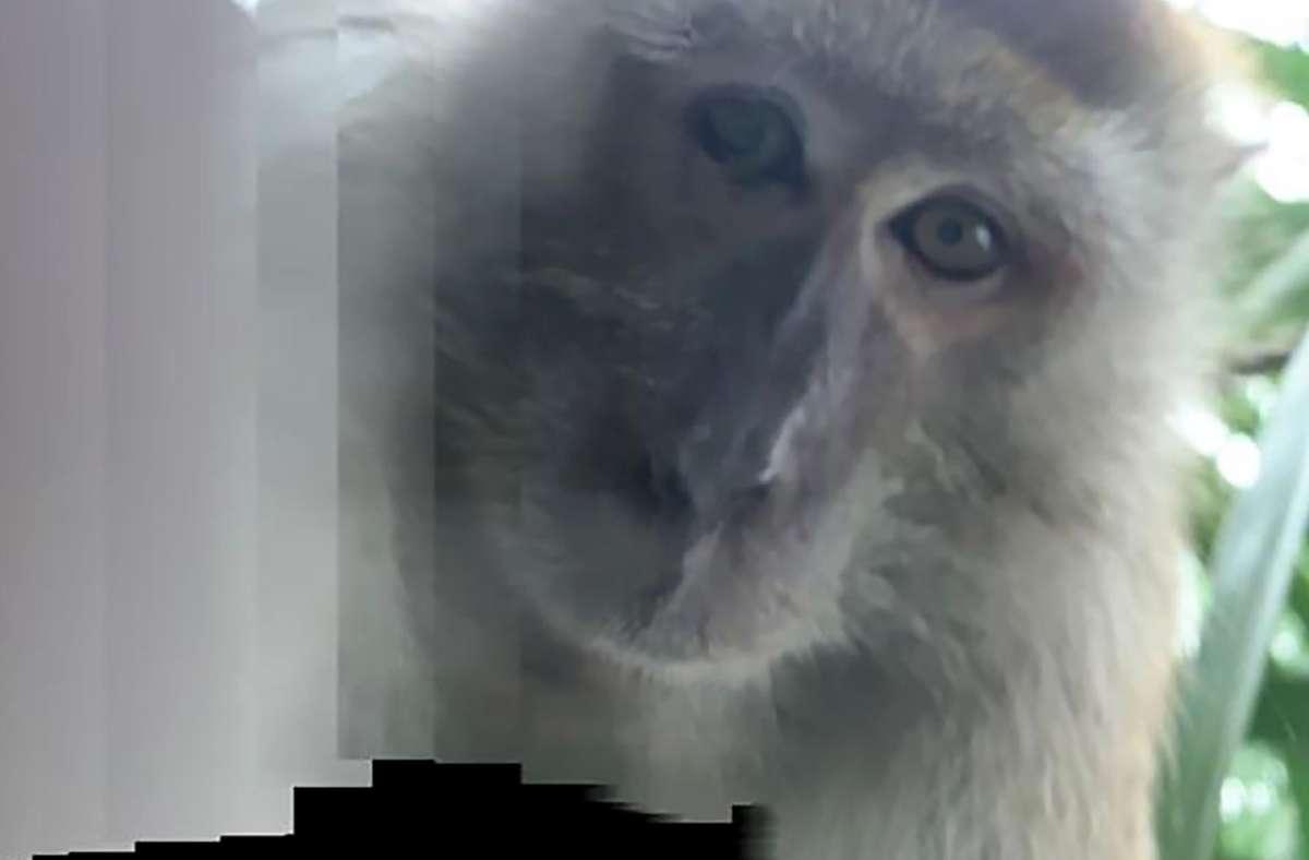 Gar nicht so schlecht gelungen ist dem Affen diese Selbstaufnahme mit dem geklauten Handy eines Studenten in Malaysia. Foto: dpa