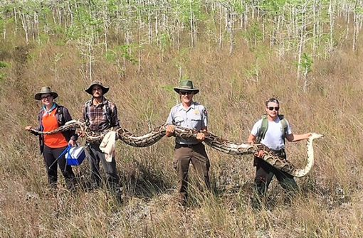 64 Kilogramm! Riesen-Python in Florida gefangen