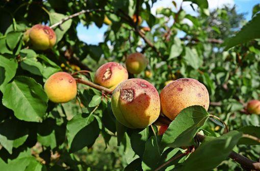 Unwetter trifft einzelne  Obstbauern hart