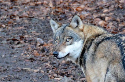 Sieben Schafe tot - möglicherweise von Wolf gerissen