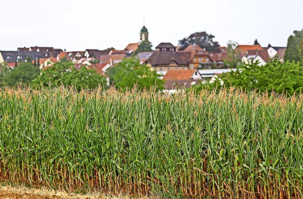 Beim Mais erwarten die Landwirte im Durchschnitt keine gute Ernte – auch in der Endphase der Reifezeit fehlt die Feuchtigkeit. Foto: factum/Granville