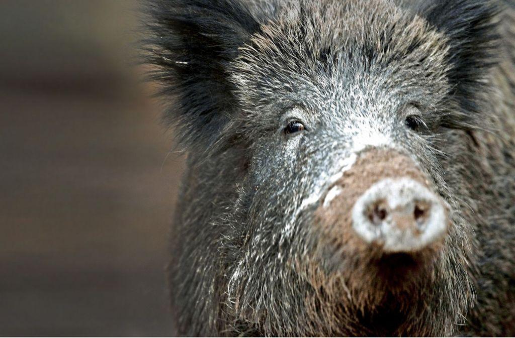In Lauffen endete die Flucht für ein Wildschwein tödlich (Symbolbild). Foto: dpa