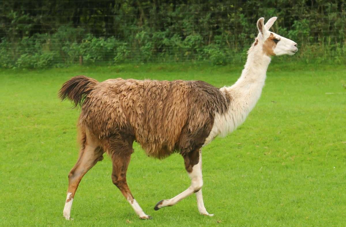 In Leonberg waren zwei Lamas auf der Flucht Foto: Augst/Eibner