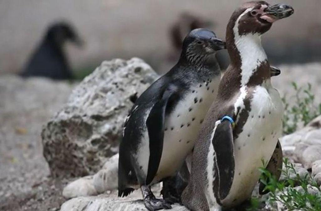 Zwei männliche Pinguine, die wie im Münchner Tierpark ein Ei behüten, sind keine Seltenheit im Tierreich. Foto: Glomex/BuzzBee