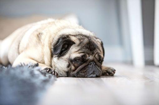 Streamingdienst bietet Playlist für daheim gebliebene Hunde an