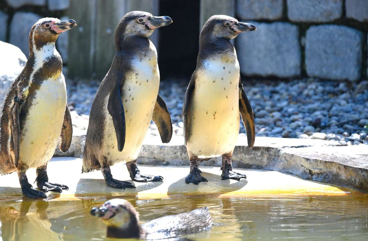 Im  Gehege war es ihnen zu langweilig – deswegen bekamen die Pinguine aus einem Aquarium in Chicago Ausgang (Symbolbild). Foto: dpa/Uwe Anspach