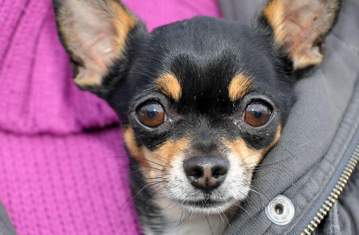 Ein Chihuahua hat in Kornwestheim eine Dreijährige gebissen (Symbolbild). Foto: dpa/David Ebener
