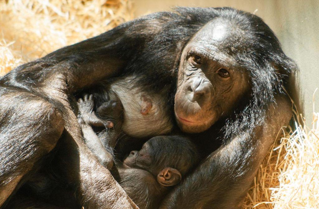 Bonobo-Mama Liboso hält ihren jüngsten Zögling beschützend im Arm. Foto: Wilhelma Stuttgart/Inga Dauter
