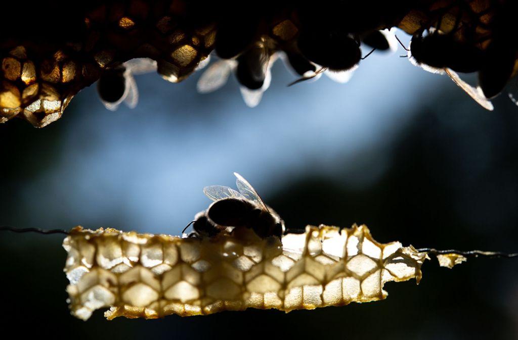 Das Bienen-Problem bedarf einer größeren Lösung, mahnt die CDU. Foto: dpa/Sebastian Gollnow