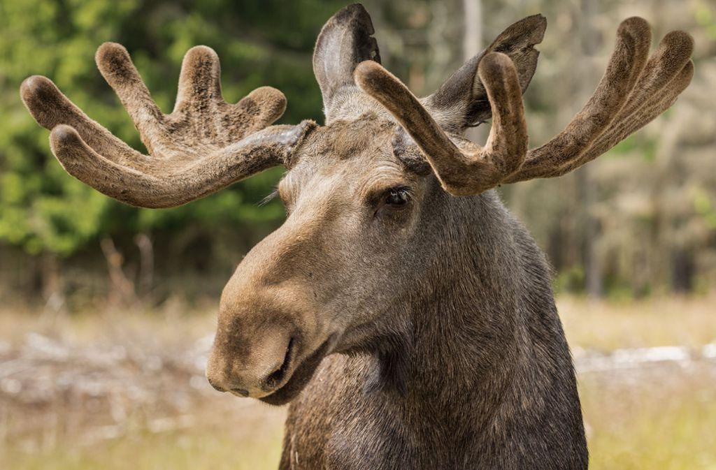 Elche können großen Schaden anrichten. Foto: Magnus - Adobe Stock