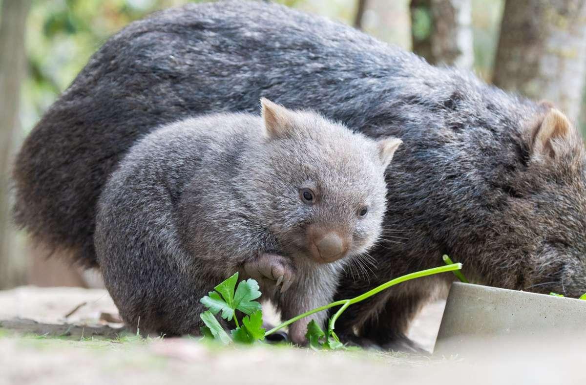 Ein kleiner Wombat verweilt in seinem Gehege im Zoo Hannover neben seiner Mutter. Foto: Julian Stratenschulte/dpa