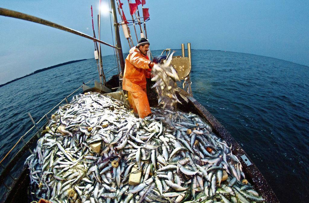 Drastisch gehen die Bestände des Herings auch in der westlichen Ostsee zurück. Foto: dpa/Christian Charisius