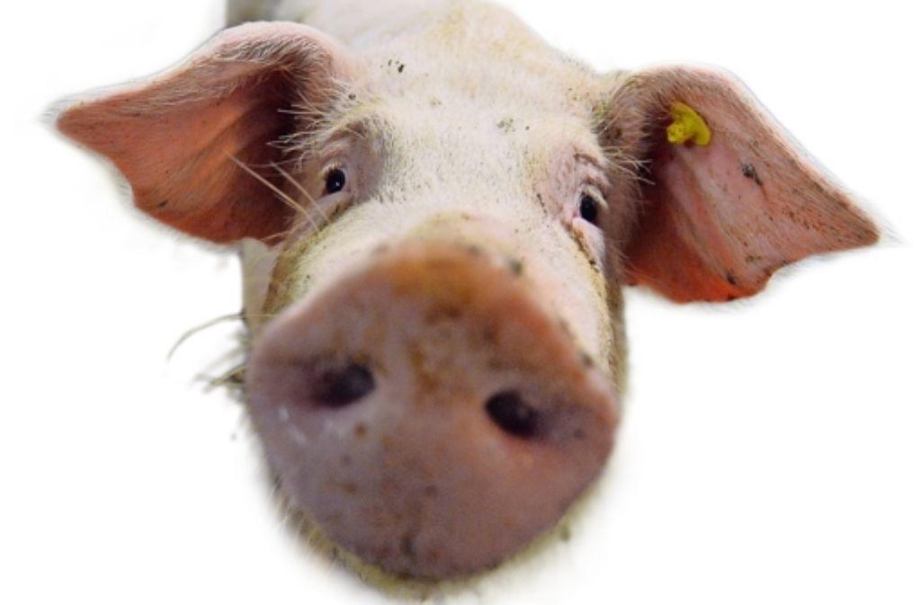Die Schonfrist für Schweine läuft ab. Entsprechende Fleischprodukte sollen demnächst wieder auf dem Menüplan der Mensa des Waiblinger Stauferschulzentrums stehen. Foto: dpa
