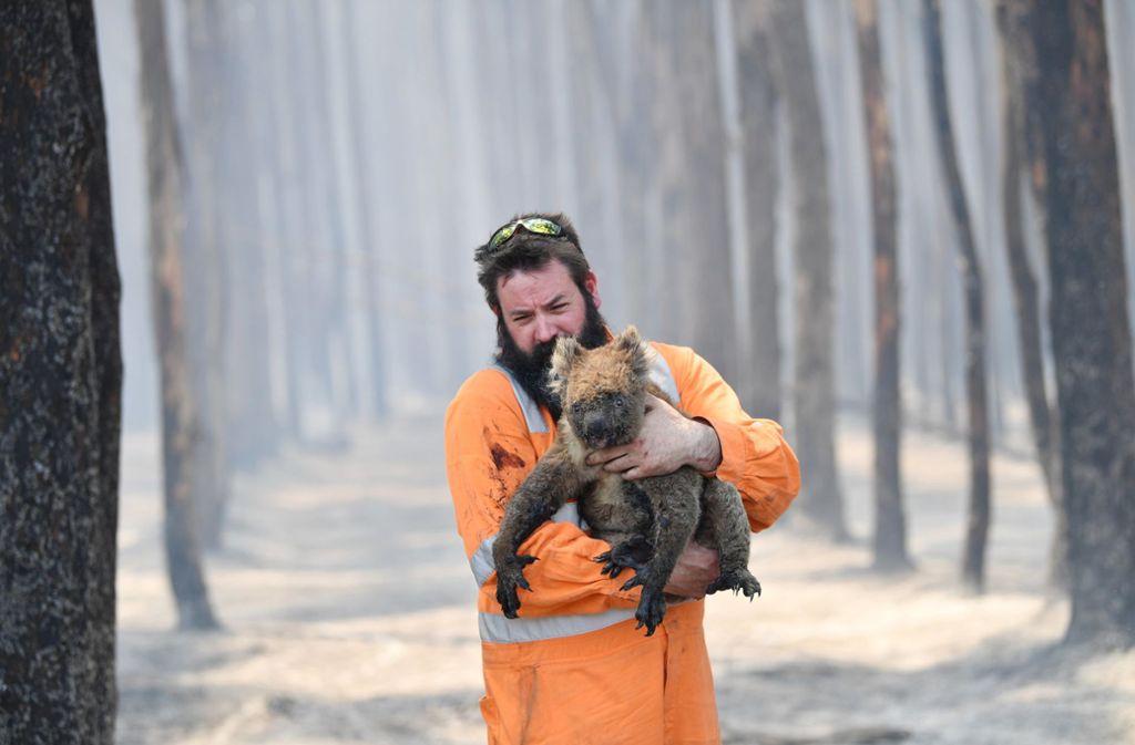 Ein gebeutelter Koala wird gerettet. Foto: dpa/David Mariuz