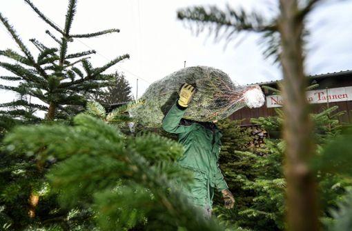Christbaum-Diebe stehlen 130 Nordmanntannen