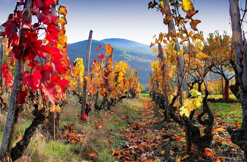 Eine Radtour im Elsass führt durch wunderschöne Weinlandschaften. Am schönsten sind die Reben im Herbst, denn dann erstrahlen die Blätter in einem leuchtenden Rot.  Foto: Pixabay