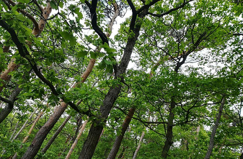 Auch der Wald leidet unter dem sich verändernden Klima. Um ihn zu erhalten, tun die Förster bereits viel. Foto: /Judith A. Sägesser