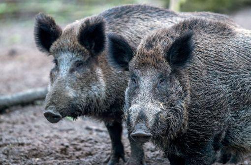 Fünf Wildschweine kollidieren mit mehreren Autos