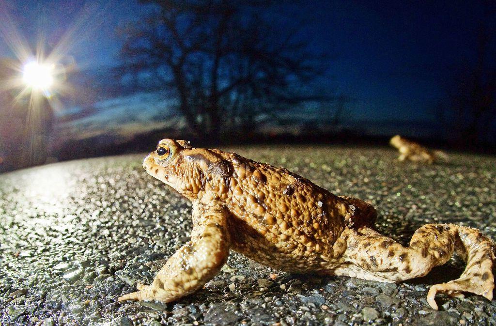 Achtung, Autofahrer! Die Kröten wandern bald wieder. Foto: dpa-Zentralbild