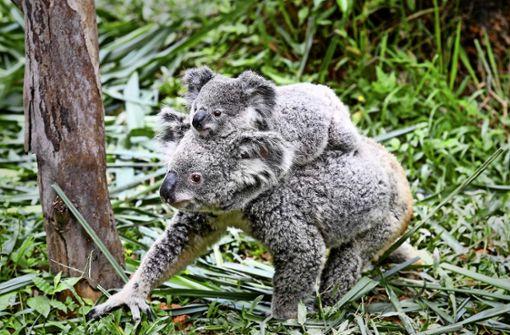 Die Mission Koala verzögert sich