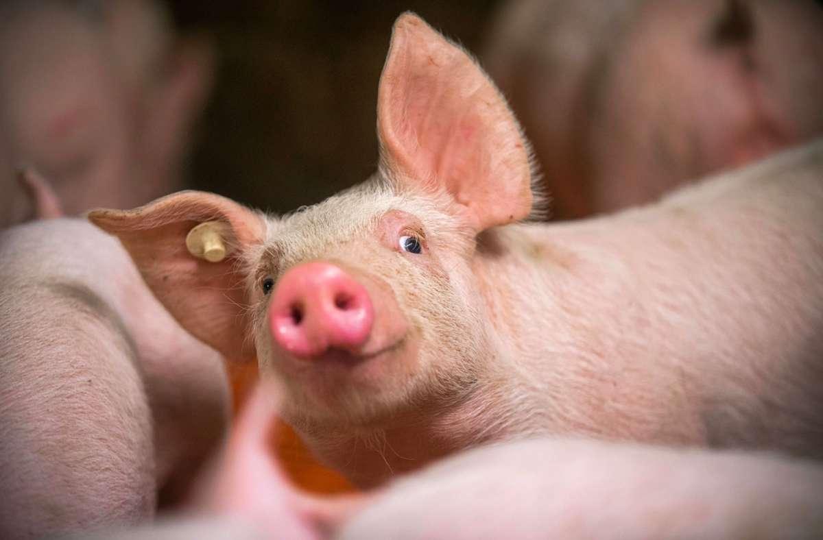 Schwein in einem Aufzuchtstall. Foto: dpa/Jens Büttner