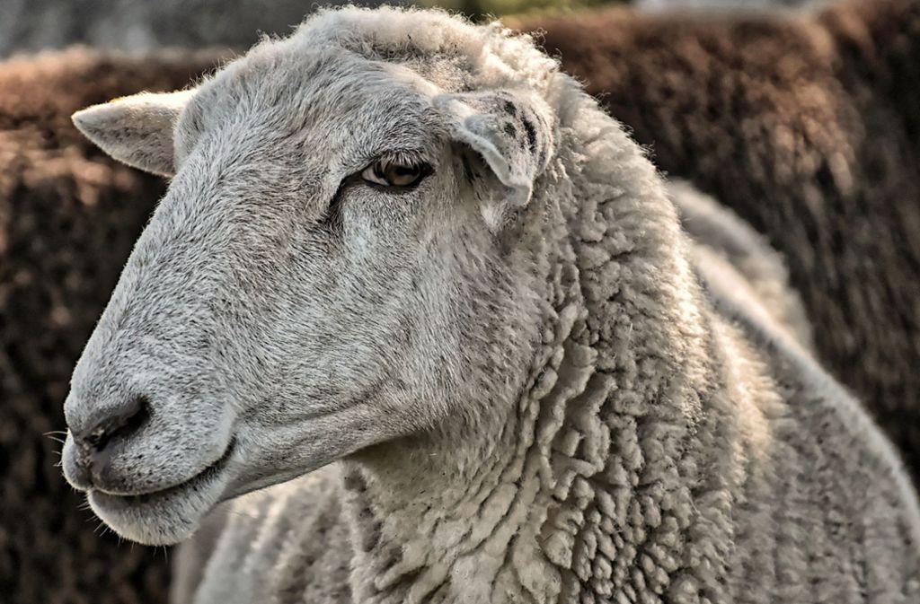 Schafe, Ziegen, Katzen und weitere Tiere wurden von dem Hof geholt. (Symbolbild) Foto: Pixabay