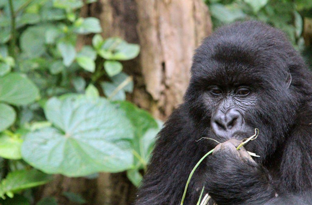 Berggorillas: Laut der Weltnaturschutzunion IUCN gibt es in Afrika noch rund 1000 Berggorillas und 90000 Flachlandgorillas. Foto: dpa