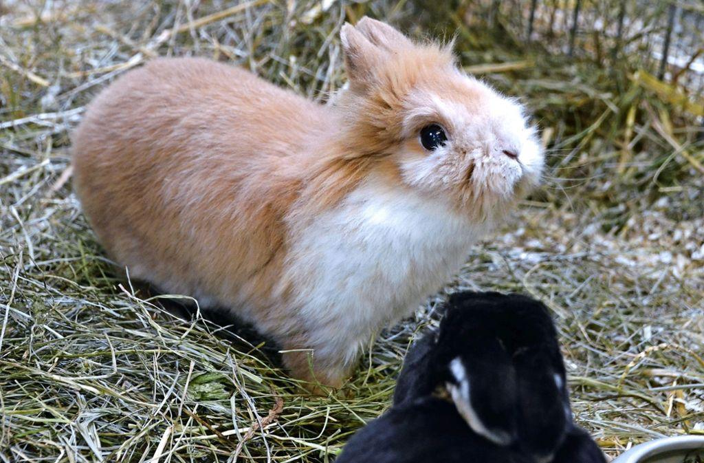Kaninchen sind sehr soziale Tiere, sie brauchen Kontakt zu Artgenossen. Im Filderstädter Tierheim wartet unter anderem der kleine Oskar auf nette Menschen. Foto: Hintermayr