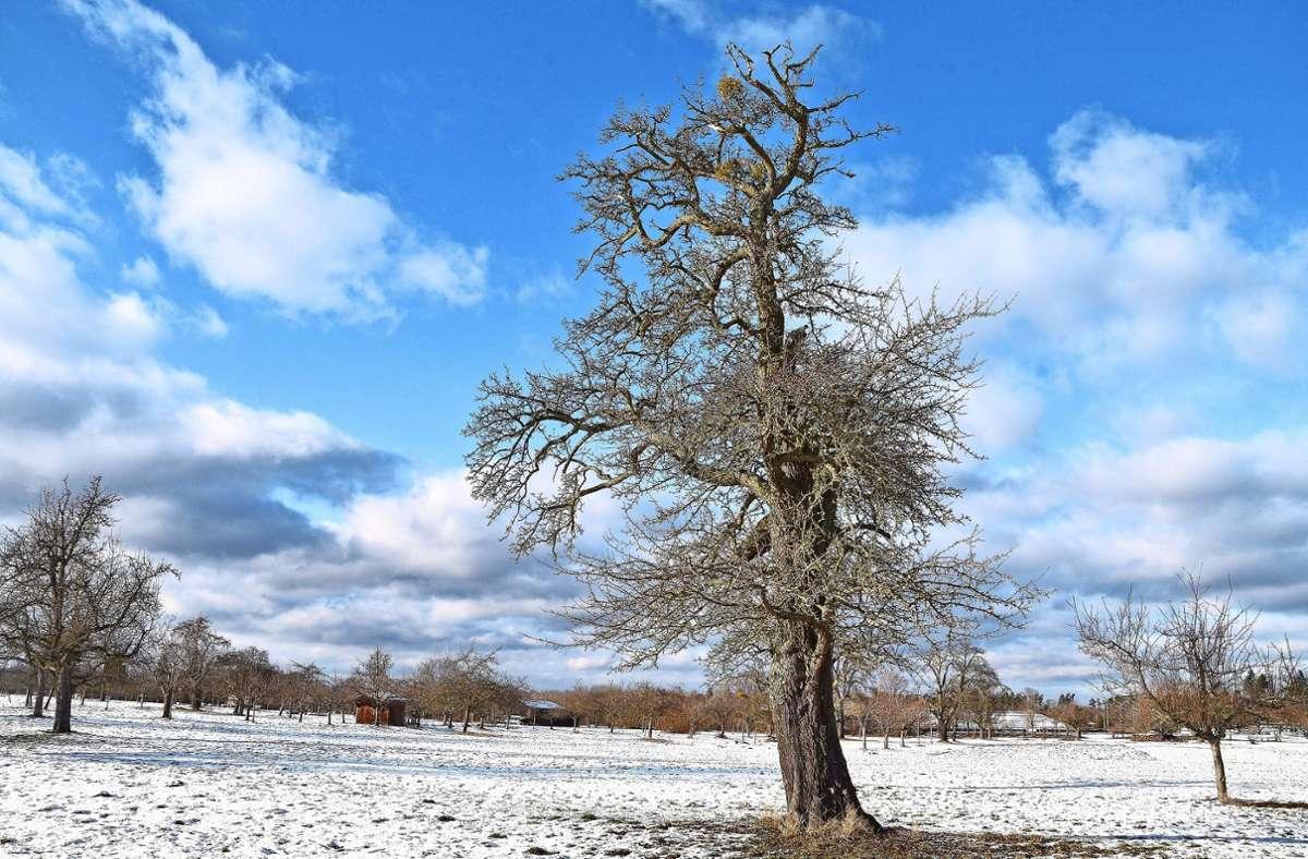 Der Streuobstexperte Walter Hartmann hat Misteln auf einem Birnbaum entdeckt – und fürchtet eine schnelle Verbreitung des Schmarotzers. Foto: privat/Walter Hartmann