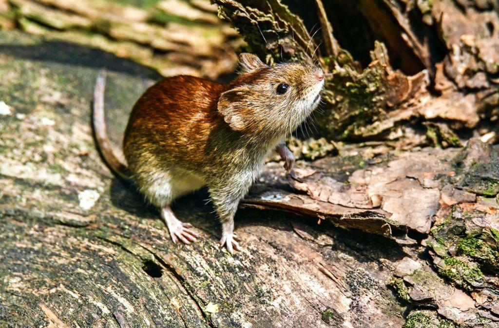 Rötelmäuse sind niedlich, können aber Krankheiten übertragen . Foto: Bernd Wolter - stock.adobe.com/Bernd Wolter