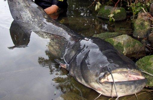 Angler fischt 216 Zentimeter langen Wels
